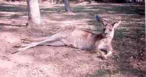 KangarooAtLonePine